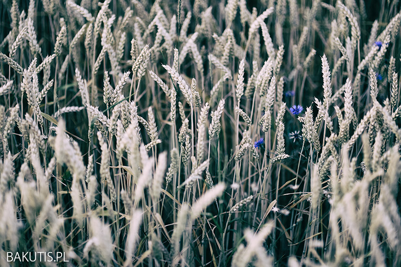 wielkopolska łąka